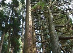 阿蘇小国杉 ~確かな産地、確かな素材~