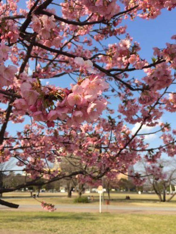 勝山公園の桜。